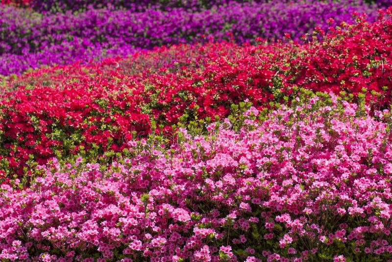 Full blossoming azalea field stock photography