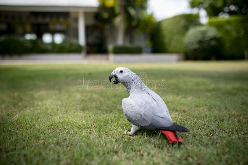 Full body of african grey parrot on green grass floor royalty free stock photos