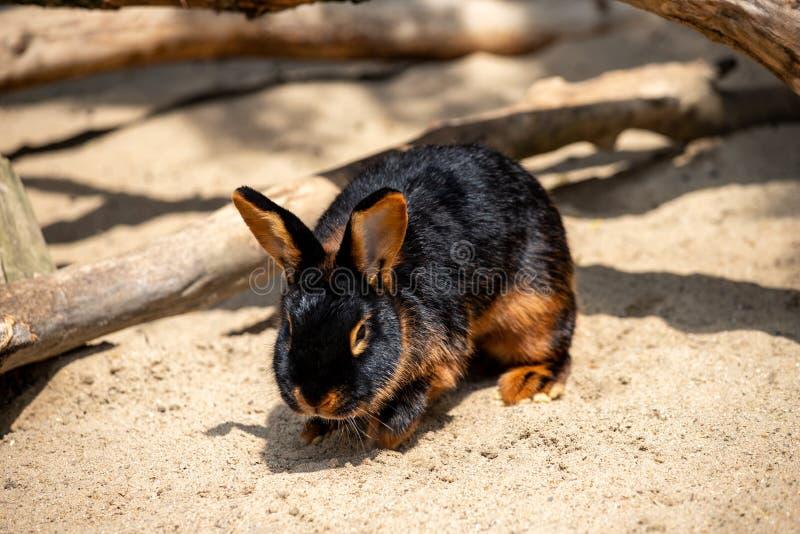 Full body of black-brown domestic pygmy rabbit stock photo