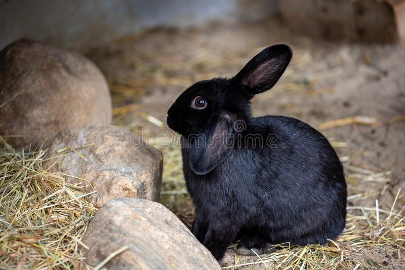 Full body of black domestic pygmy rabbit stock images