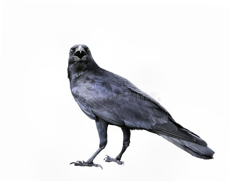 full body of black feather crow,raven bird isolated white background royalty free stock photography