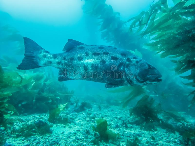 Full Body Close Profile Engangered Giant Pacific Sea Bass Underwater in Kelp stock photography