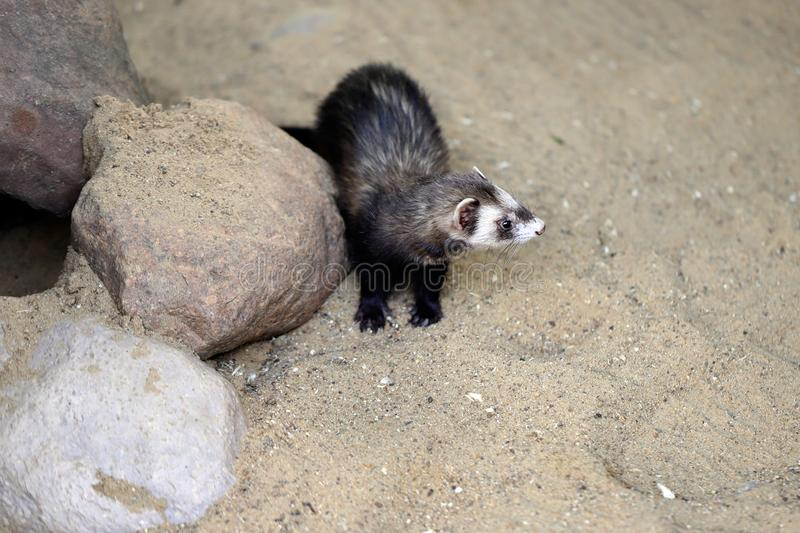 Full body of domestic multicolor white-grey-brown female ferret. Photography of nature and wildlife stock photo