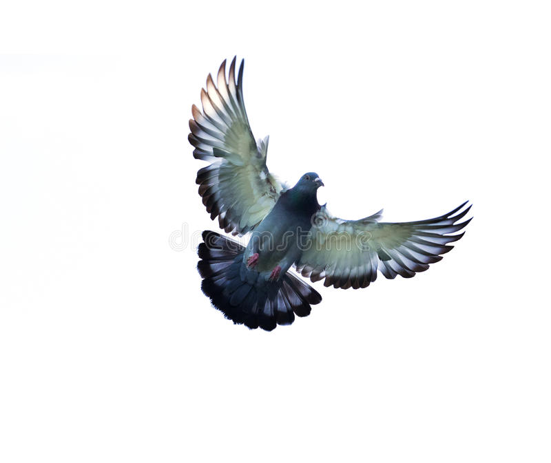 Full body of homing pigeon bird hovering isolated white background stock photography
