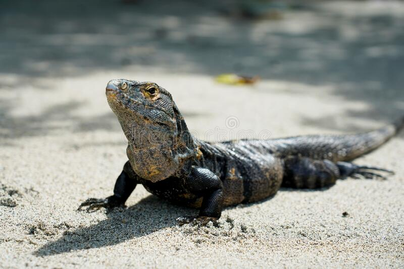 Full body iguana laying on a beach. Possing for photographer royalty free stock images