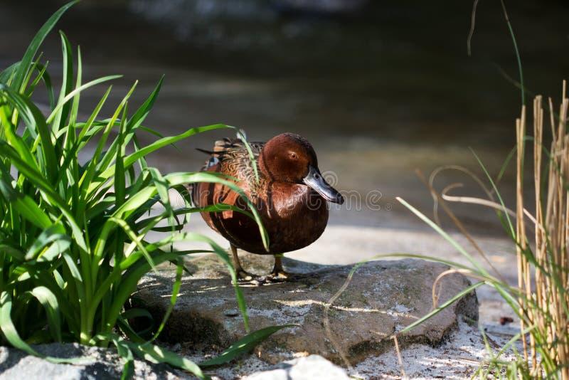 Cinnamon teal duck royalty free stock image