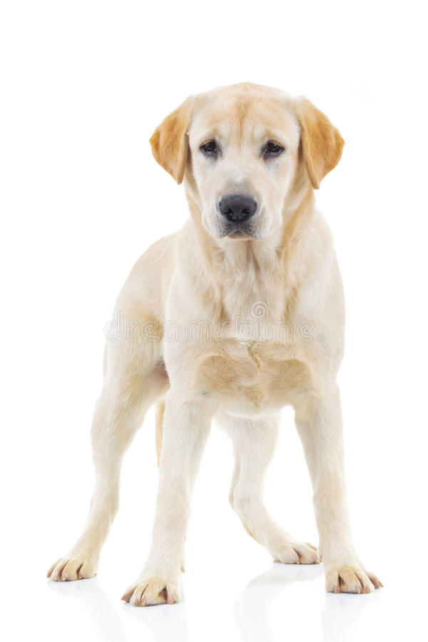 Full Body Picture Of A Labrador Retriever Dog Standing Stock Photo ...