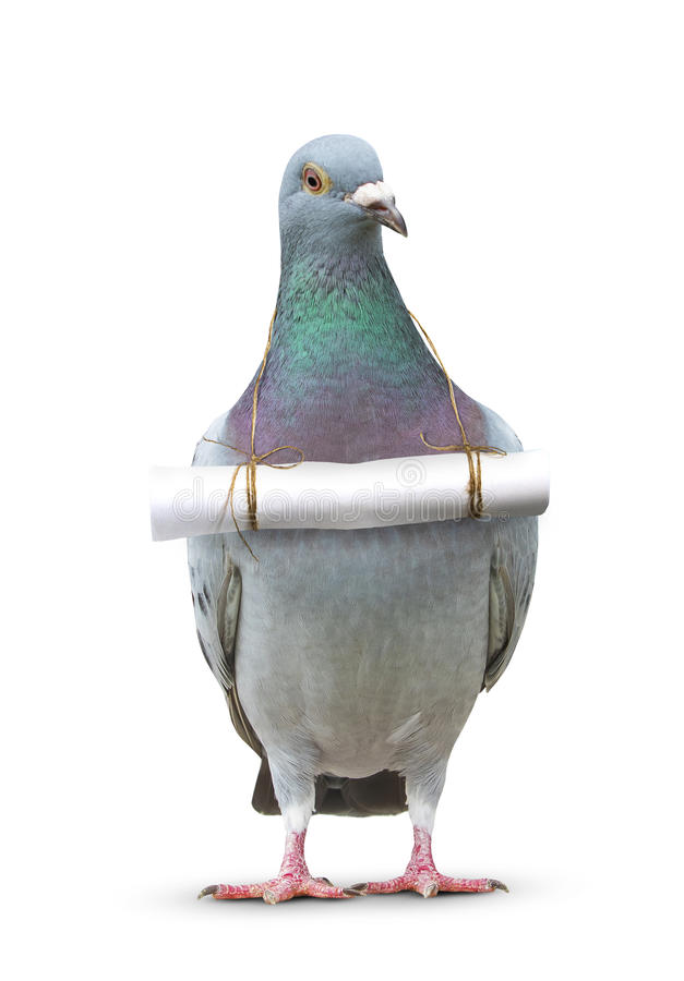 full body of pigeon bird and paper letter message hanging on breast for communication theme stock photo