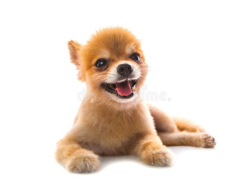 Full body of pomeranian dog lying on white background royalty free stock photo