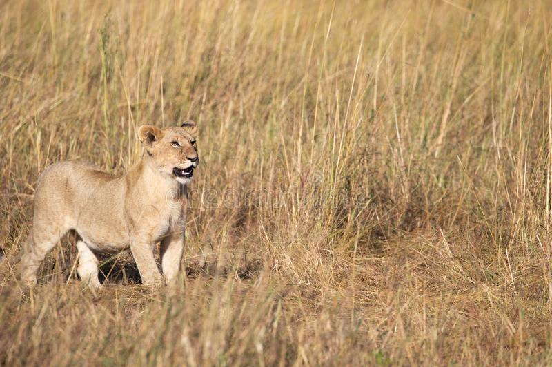 Full body portrait of cute lion, Panthera leo, cub in tall grass royalty free stock images