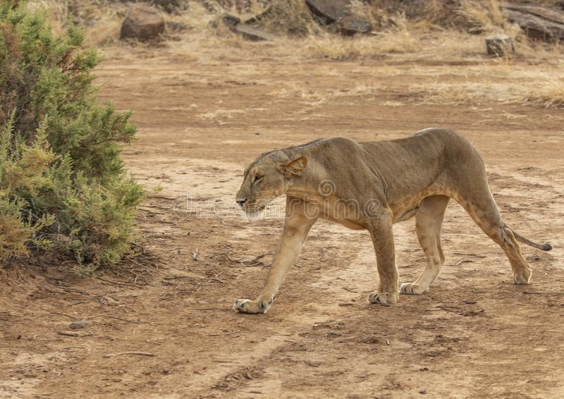 Full body portrait of female lion, Panthera leo, walking in dirt road as she hunts royalty free stock images