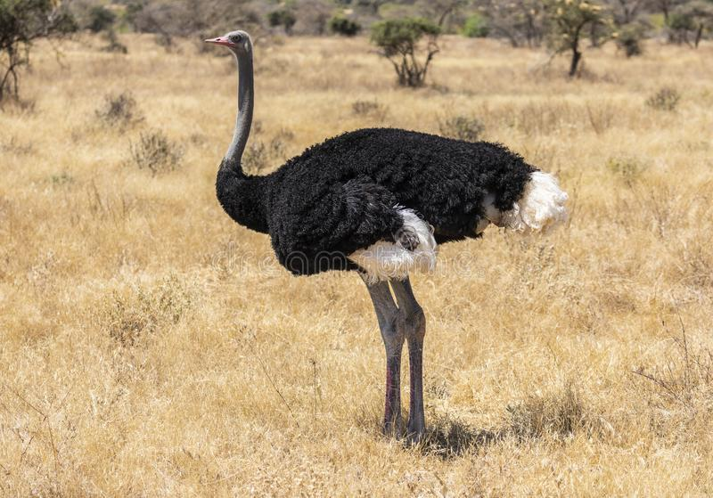 Full body portrait of male Somali ostrich, Struthio camelus molybdophanes, in tall grass of the northern Kenya savannah with lands royalty free stock photography