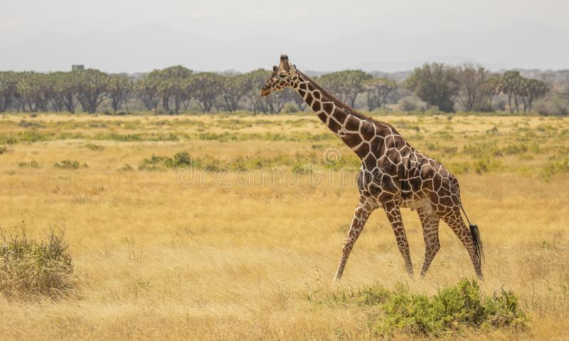 Full Body Portrait of reticulated giraffe, Giraffa camelopardalis reticulata, walking in northern Kenya savannah landscape royalty free stock images