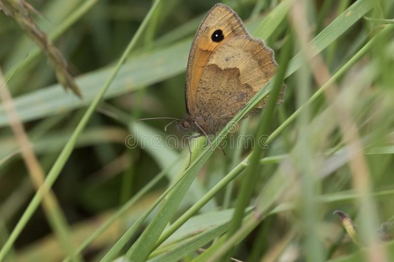Small brown wing spotted butterfly. Full body portrait of small brown butterfly with spotted wings royalty free stock images