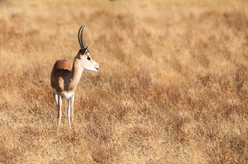 Full body portrait of young adult male impala, Aepyceros melampus, in profile with tall grass savannah landscape royalty free stock photography