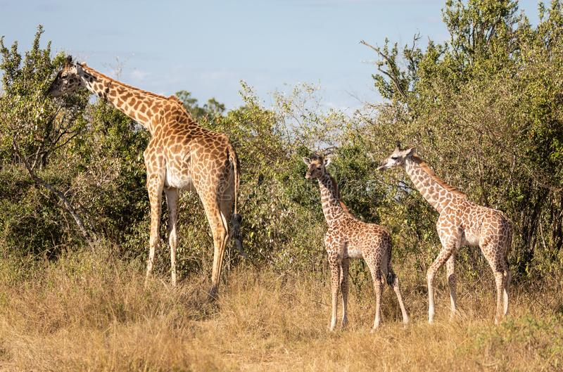 Full body portraits of masai giraffe family, with mother and two young offspring in African bush landscape with trees in backgroun stock photography