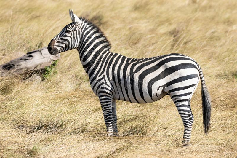 Full body profile portrait of common zebra, Equus quagga, up close standing in the tall grass of savannah in Kenya stock photos
