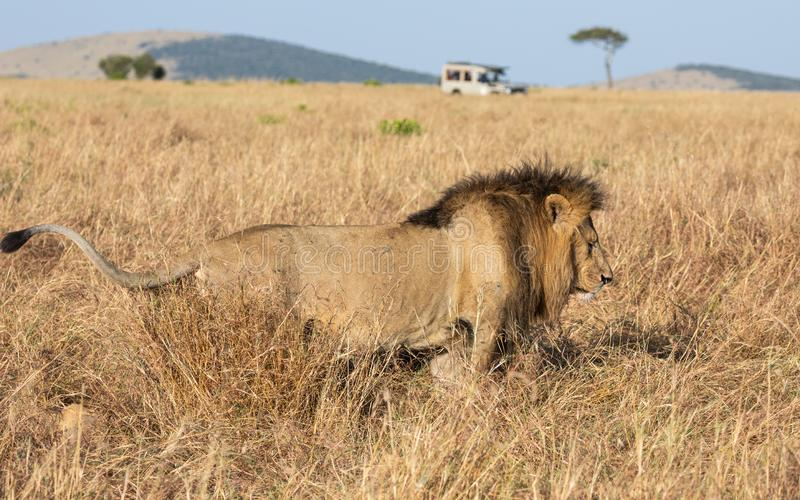 Full body profile portrait of male lion, Panthera leo, of the Sand River or Elawana Pride, walking in African landscape. With tall grass, acacia tree, hill, and royalty free stock photography