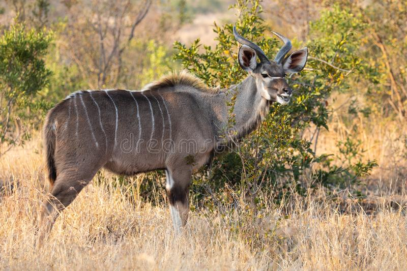 Full body profile portrait of young adult male lesser Kudu, Tragelaphus imberbis, in African landscape eating leaves off a shrub i stock image