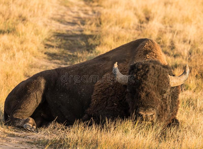 A full body shot of a Bull buffalo, Bison laying in a grass field. The picture taken in late October of a bull buffalo bison at the Rocky Mountain Arsenal royalty free stock images