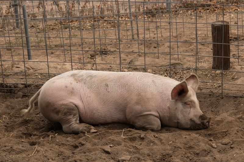 Full body shot of spotted lazy, sleepy, good natured single dirty young domestic pink laying down in his pen pig, with muddy feet, royalty free stock photography