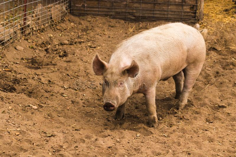Full body shot of startled, wary, cautious single dirty young domestic pink standing pig, with muddy feet, big ears, well cared fo. R and healthy waiting to grow royalty free stock photo