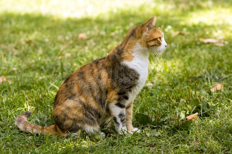 Full body side profile of a short fur tricolor cat staring at left sitting on grass stock photo