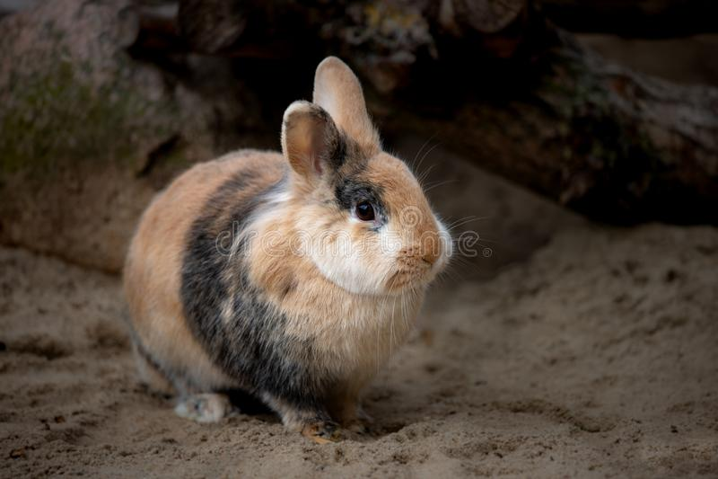 Full body of smoky-brown-grey domestic pygmy rabbit stock images