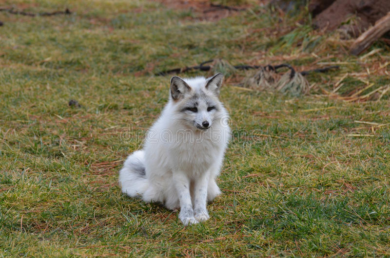 Full Body of a Swift Fox Sitting royalty free stock images