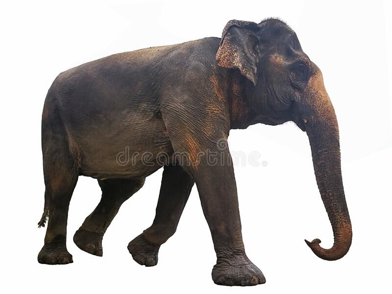 Full body walking of Thailand elephant isolated on white background. With clipping path royalty free stock photography