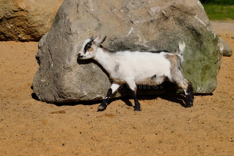 Full body of young African pygmy goat. Photography of nature and wildlife royalty free stock photo
