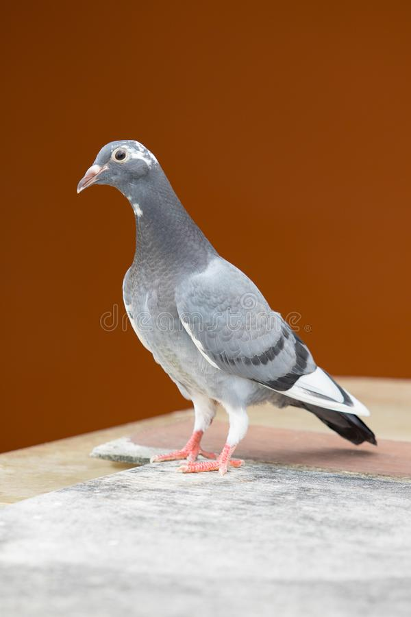 Full body of young homing pigeon bird standing on home loft royalty free stock photos