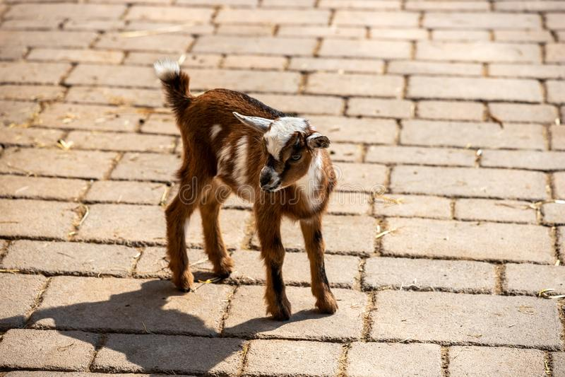 Full body of young white-brown African pygmy goat. Photography of lively nature and wildlife royalty free stock images