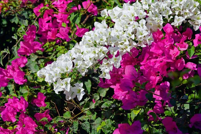 Full bougainvillea för färg som är vit och som är rosa i Oia, Cyclades arkivfoton