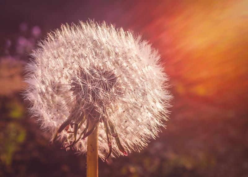 A full dandelion, soft and bright caught in sun rays captured via an attractive lens flare at sunset stock image