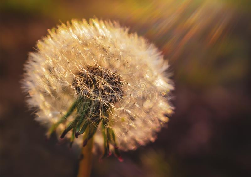 A full dandelion, soft and bright caught in sun rays captured via an attractive lens flare stock images