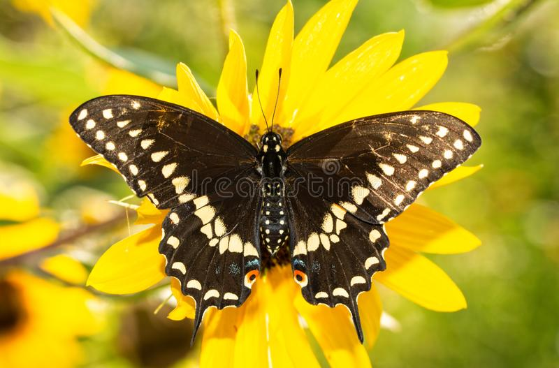 Full dorsal view of open wings of an Eastern Black Swallowtail butterfly. On a native Sunflower in brilliant morning sun royalty free stock images