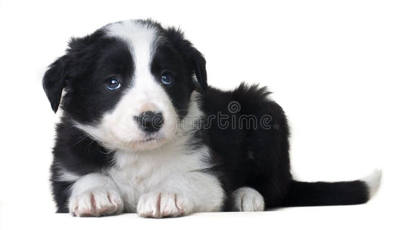 Full fårhund border collie som för kropphundstående ligger och solateds på vit bakgrund royaltyfri foto