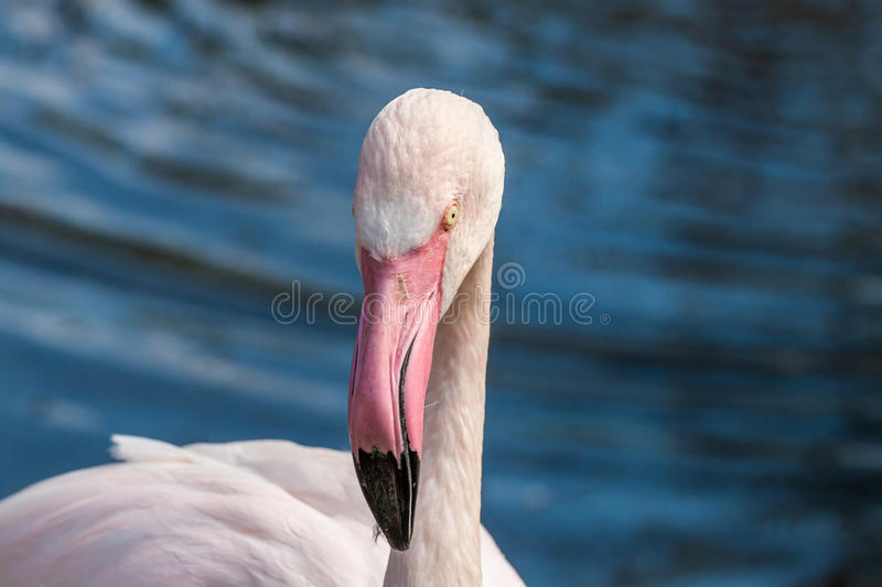 Full-face of Greater flamingo. Flamingo looking directly at the camera stock images
