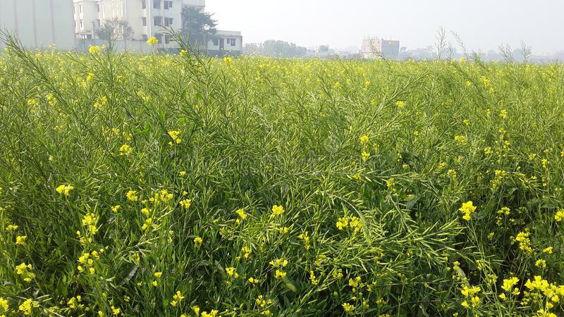 Full of farm in mustard cultivated looks very beautyful nature of sight such as emaginal  after production from this collected pla. Full of farm in mustard stock images