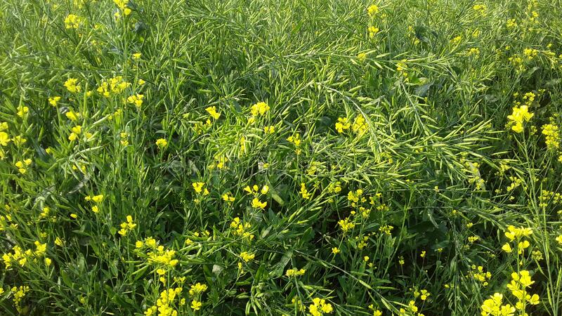 Full of farm in mustard cultivated looks very beautyful nature of sight such as emaginal  after production from this collected pla. Full of farm in mustard stock image
