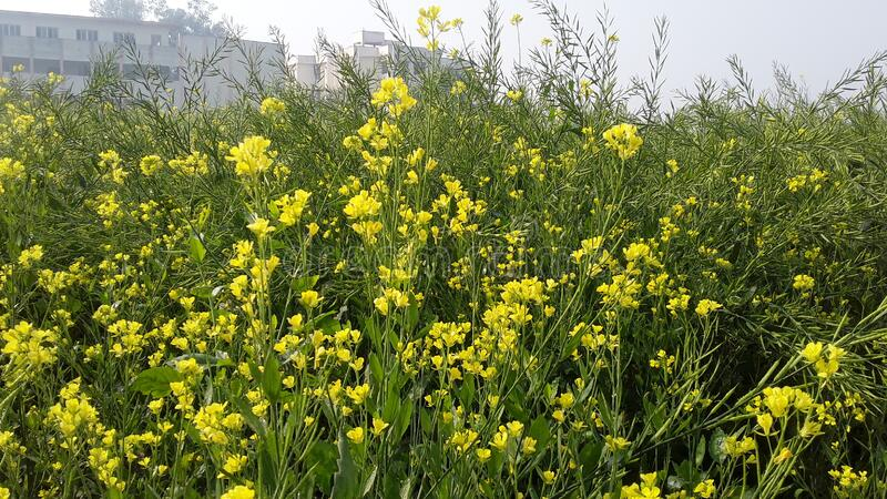 Full of farm in mustard cultivated looks very beautyful nature of sight such as emaginal  after production from this collected pla. Full of farm in mustard royalty free stock images