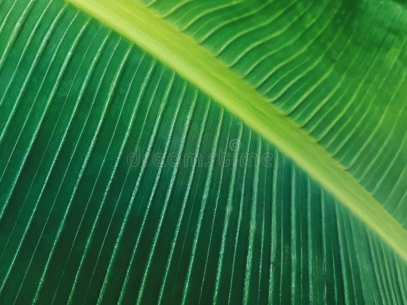 Full Frame Background of Fresh Green Banana Leaf stock image