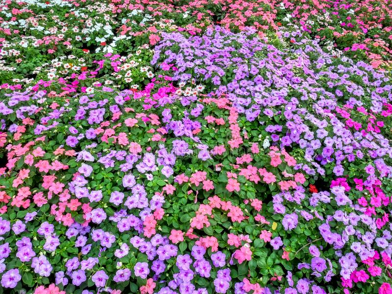 Full Frame Background of Colorful Periwinkle Flowers Field. Full Frame Background of High Angle View of Colorful Periwinkle Flowers Field stock photos