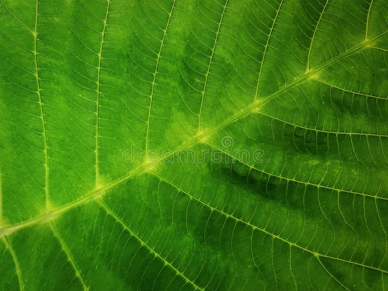 Full Frame Background of Close-up Fresh Green Leaf Texture royalty free stock photos