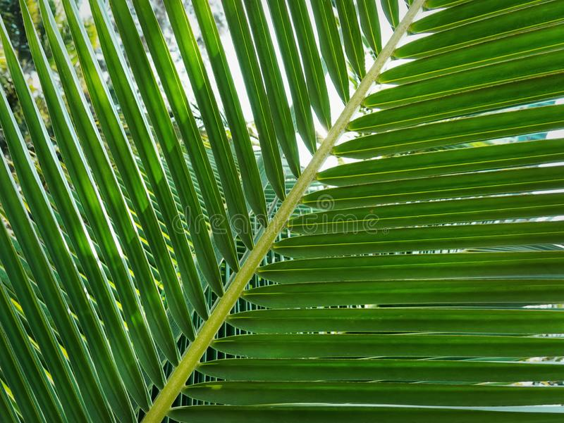 Background of Fresh Green Palm Leaves at Garden. Full Frame Background of Fresh Green Palm Leaves at Garden stock photography