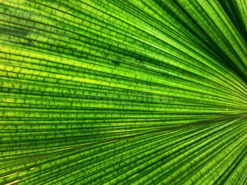 Full Frame Background of Green Palm Leaf Texture. Full Frame Background of Fresh Green Palm Leaf Texture royalty free stock photo