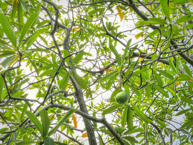 Full Frame Background of Low Angle View of Green Fruit on the Tree royalty free stock photo