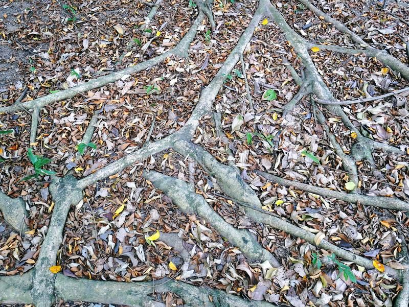 Full Frame Background of Tree Roots on the Ground royalty free stock photography