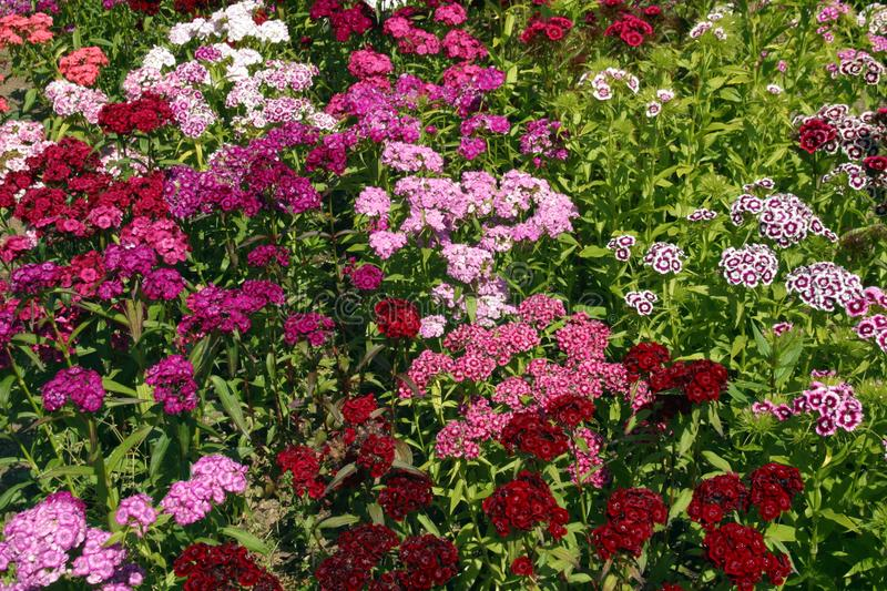 Dianthus. Full frame close up of profuse Dianthus Sweet William flowers in a garden flowerbed stock photography